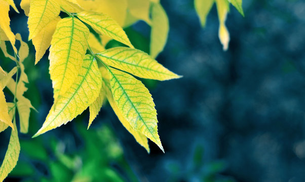 yellow leaves on blue background