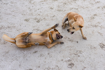 Couple of  island dogs heaving fun together at the beach.