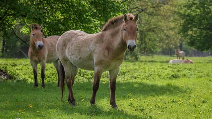 Przewalski horse in field