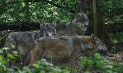 Wolves in forest Europe Germany