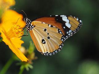 Orange butterfly on yellow flowers, background blurred