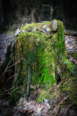 Close-up of a tree stump with green moss in the forest with sunlight.