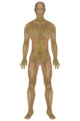 Lymphatic system.  Medical illustration