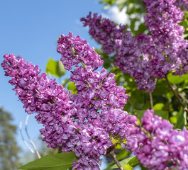 Blossoms of a lilac (genus Syringa) in front of blue sky