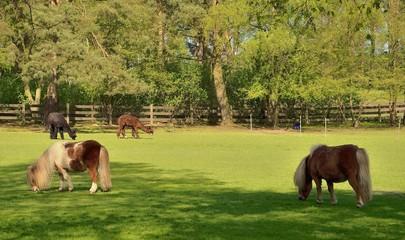 2 Ponys und 2 Alpaccas grasen das frische Grün im Park