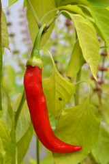 Close-up of a Beautiful Red Pepper, Nature, Macro