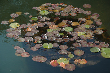 Water lilies in pond / 睡蓮の池