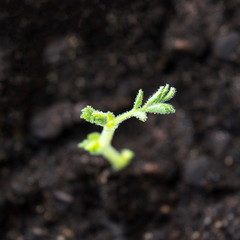 Chick pea seedling growing in soil close up, popular legume plant also known as gram, garbanzo or Egyptian pea