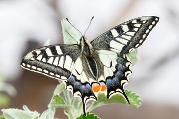 Mariposa. Macaón. Papilio machaon.