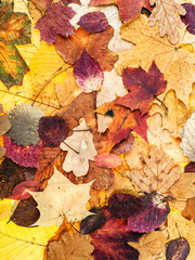 autumn background from various multicolor leaves