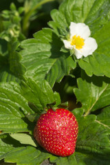 Strawberry between leaves in the morning in the garden
