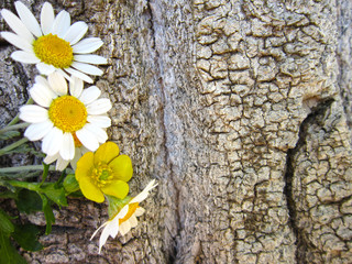 close-up of daisies and tree trunks.background.