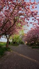 Obstplantagen, Obstblüte im Alten Land in Hamburg, Deutschland