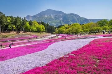 芝桜が満開の羊山公園の風景