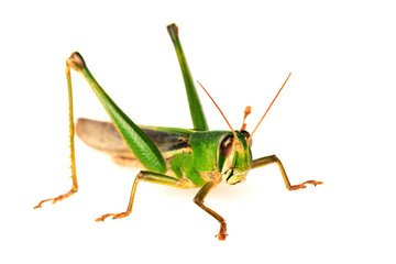 Young green grasshopper isolated on white background.