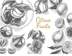 Vector sketch background fruit. Citrus.
