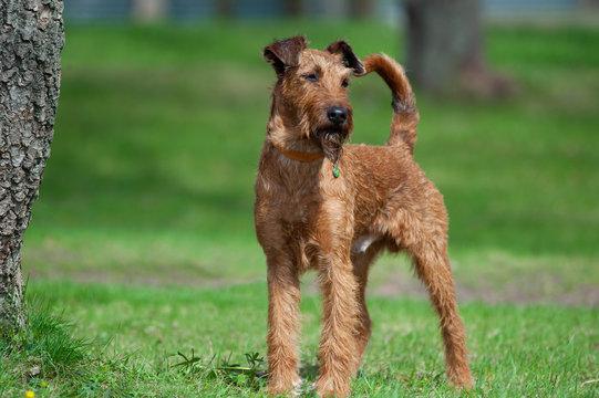 irish terrier on green meadow
