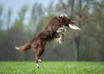 border collie catching the disk