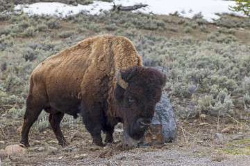Yellowstone bison rubbing up against a rock