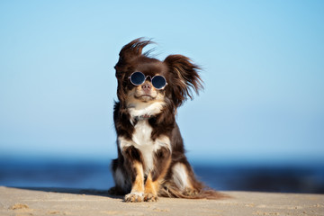 funny chihuahua dog in sunglasses posing on a beach Wall mural