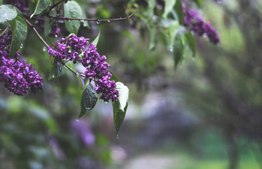 beautiful lilac flowers under rain in spring time