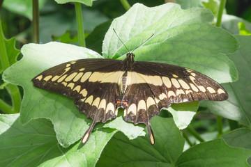 Single swallowtail