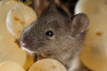 Mouse eating grapes, Mus musculus