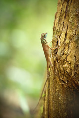 Kangaroo lizard sitting on a trunk in Singharaja rainforest, Sri Lanka