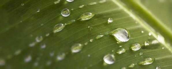 Naturel et écologique. Gros plan de gouttes et gouttelettes de pluie sur une feuille verte. Arrière plan vert.