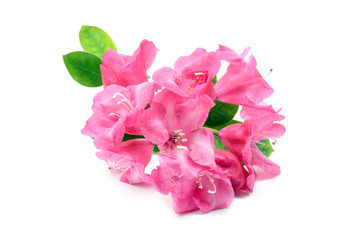pink rhododendron flower head on white isolated background