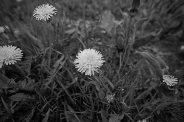 Black and white photo with dandelions