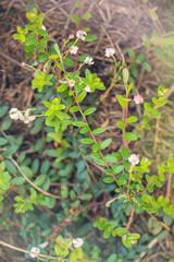 Spring flowering of a garden cranberry