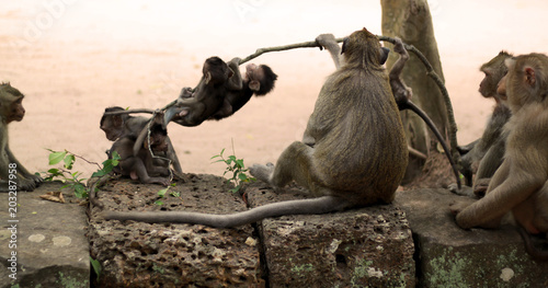 Monkeys And Cute Baby Monkeys Playing On The Ruins Of Angkor Wat In