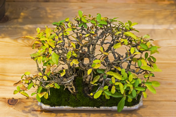 Bonsai tree  - Amur privet