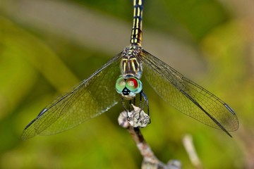 A dragonfly at rest in the sunlight, as seen from a front view with its wings down.