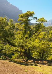 Subspecies pine Pinus canariensis in Caldera of Taburiente, La Palma, Canary Islands