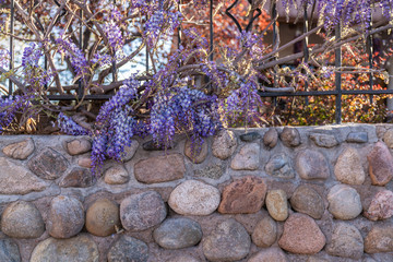 stone wall with Wisteria flowers santa fe new mexico