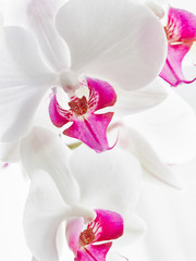 white Orchid in soft focus