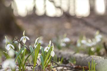 White blooming snowdrop folded or Galanthus plicatus. Spring sunny day in the forest.