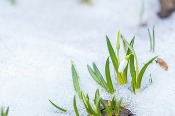 White bud blooming snowdrop folded or Galanthus plicatus