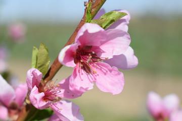 Obraz Kwiaty brzoskwini - fototapety do salonu