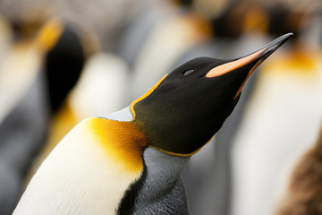 Curious Emperor Penguin (Aptenodytes forsteri) leans across to get a better look.