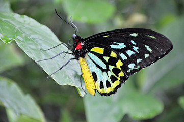 Colorful yellow, black and turquoise butterfly close up on a green leaf in Costa Rica