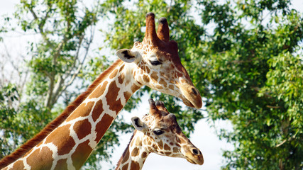 Adult and young giraffe portrait in a Zoo