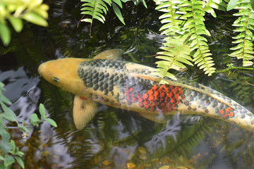 Close up of Koi fish in pond with green ferns above.