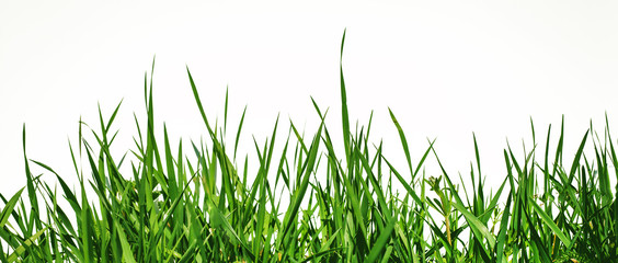 green grass is depicted from below on a white background