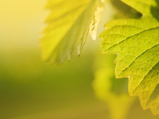 Wall Mural - Grape leaf growing on grapevine.