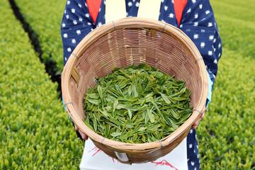 茶摘み お茶畑