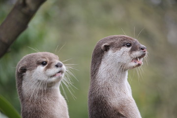 Wall Mural - Cute close up portrait of a pair of two Asian or Oriental small clawed otter (Aonyx cinerea) with out of focus background