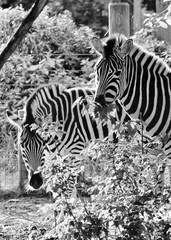 Black and white zebra at zoo